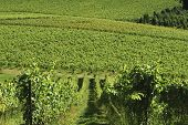 image of dork  - English vineyard at Dorking - JPG