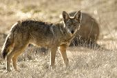 image of coyote  - Coyote hunting in the prairie grass of southern California - JPG