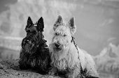 image of scottie dog  - two Scottish terriers posed on edge of Grand Canyon - JPG