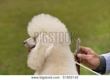 Combing poodle