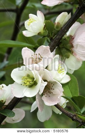 Pink Blooms Of Flowering Quince (chaenomeles Speciosa) Vertical