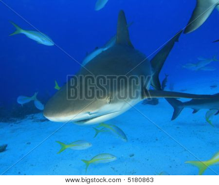 Shark And Yellowtail Snappers