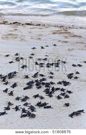 Turtle Hatchlings