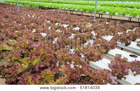 Red Lettuce Plantation