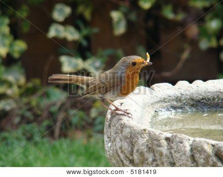 European Robin,erithacus Rubecula