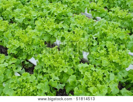 Leaf Lettuce Vegetable