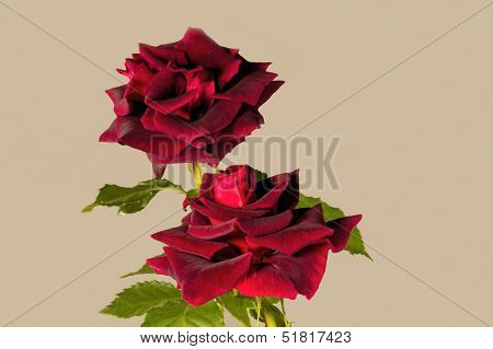 Deep Velvet Rich Red Burgandy Colored Rose