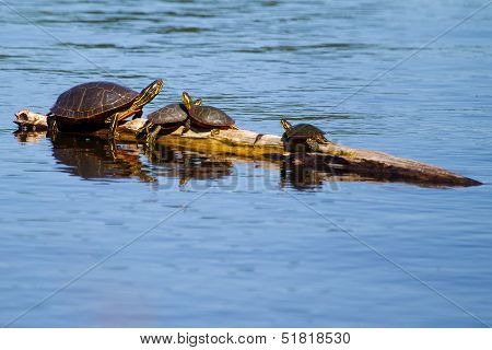 Painted Turtles Basking In The Sun.