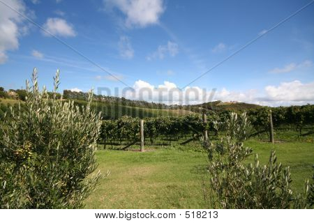 Vineyard And Olive Tree