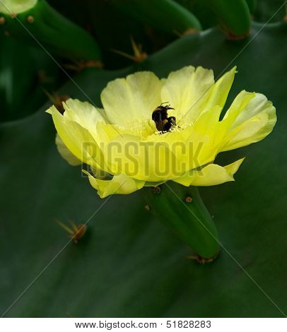 Cactus blossom, opuntia, yellow cactus blossom,blossom cactus flower with bee in it