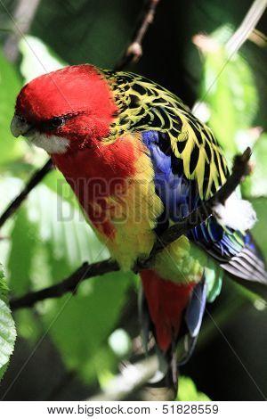 Parrot (eastern Rosella)