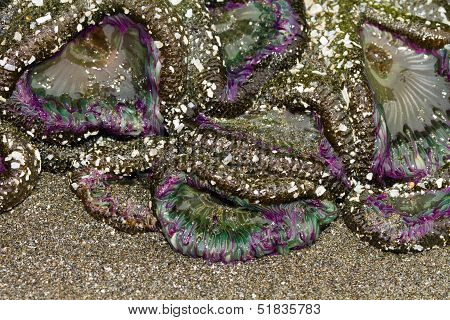 purple anemones aggregating