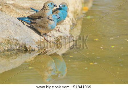 Blue Waxbill - Wild Bird Background from Africa - Friendship is Blue