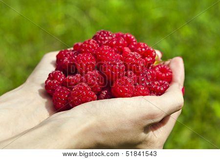 a handful of ripe raspberries macro on a background of summer green