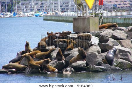 California Sea Lions, Sunning On Rock Of A Jetty