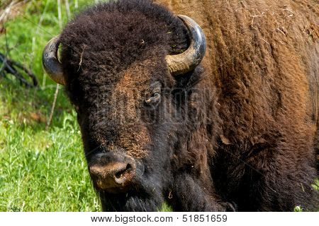 Closeup Head Shot of an Iconic Wild Western Symbol - the American Bison or Buffalo