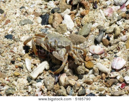 Crab, Abu Dabab