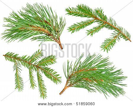 Fir And Pine Branches