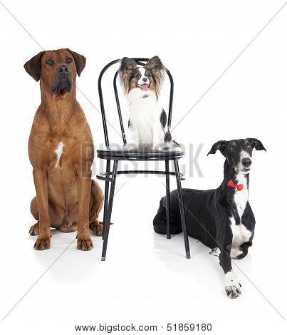 three dogs (ridgeback papillon greyhound)