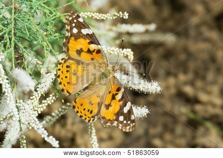 Canessa Cardui - Painted Lady Butterfly