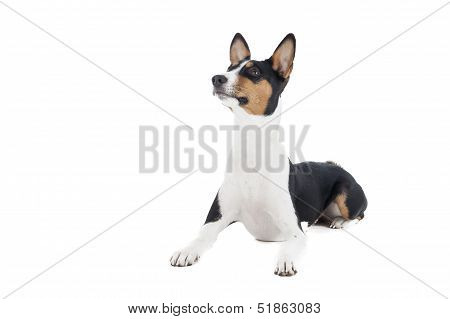 Basenji Dog Or African Nela
