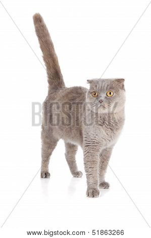 Scottish Fold Cat Isolated