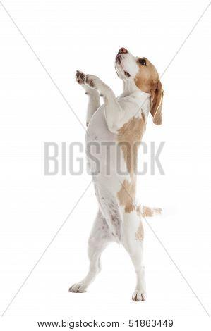 Dancing Dog Beagle