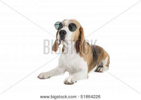 Beagle With Glasses