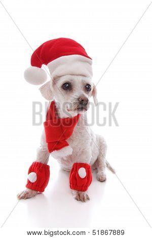 White Dog Wearing Santa Hat, Scarf And Legwarmers