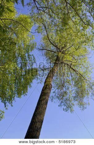 Tree Lasts Upwards To The Blue Sky.