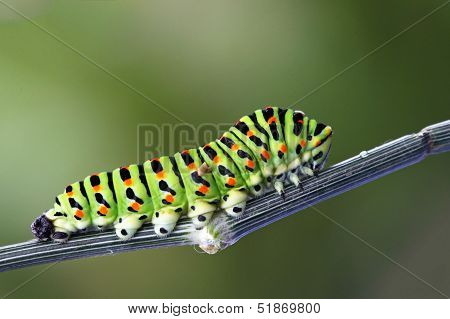 Green Caterpillar - Papilio Machaon