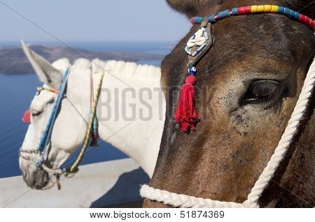 Donkey in Thira.