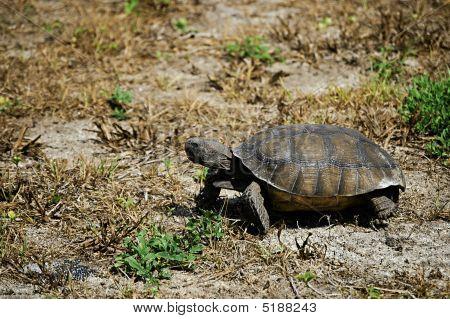 wild tortoise