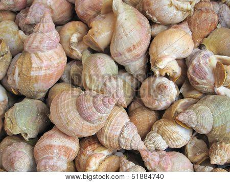 Fresh Whelks On Sale In  Market