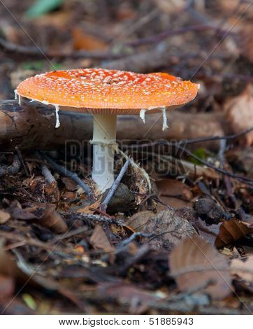 Amanita Muscaria, Commonly Known As The Fly Agaric Or Fly Amanita