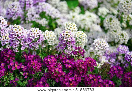 Close Up Of Pretty Pink, White And Purple Alyssum Flowers, Of The Cruciferae, Annual Flowering Plant