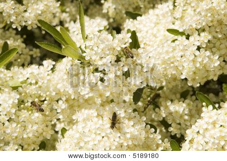 Some Bees On Small White Flowers