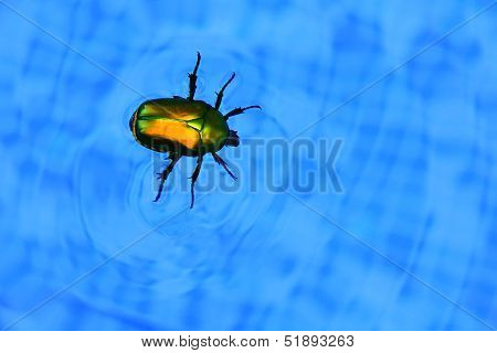 Cockchafer Floating In Swimming Pool