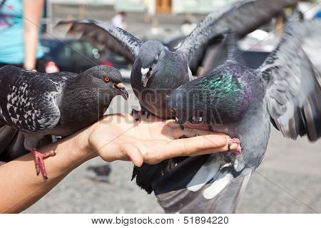 Feeding Of Pigeons