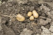 stock photo of loam  - potato harvest - potato in the loam with plant
