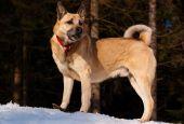 pic of laika  - West Siberian Laika walking in winter forest - JPG