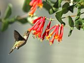 stock photo of hummingbirds  - Horizontal View of Ruby - JPG