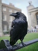 image of raven  - Raven in the Tower of London UK - JPG