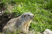 pic of groundhog  - Colle dell - JPG