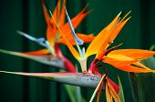 stock photo of bird paradise  - Strelitzia the Bird of Paradise flower is a genus of five species of perennial plants native to South Africa - JPG