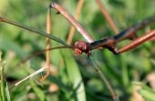 picture of stick-bugs  - Stick Bug looks like a stick at first glance - JPG