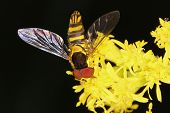 picture of mimicry  - Syrphid Fly Mimicking a Bee on Goldenrod  - JPG