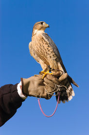 stock photo of falcons  - Falconer with Peregrine Falcon crossbred with a Prairie Falcon and Gyrfalcon mix sitting on gloved hand of handler  - JPG