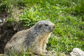 image of groundhog  - Colle dell - JPG