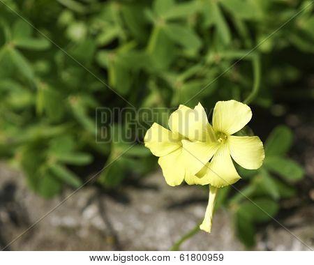 Yellow Trifolium